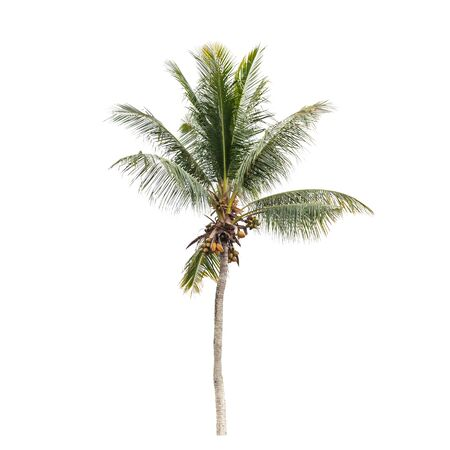 Natural photo of a coconut palm tree isolated on white background