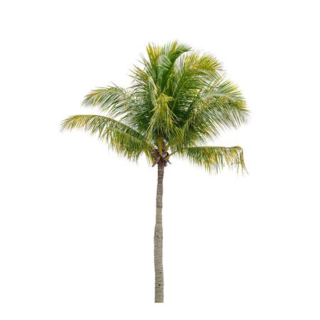 Coconut palm tree isolated on white background 免版税图像
