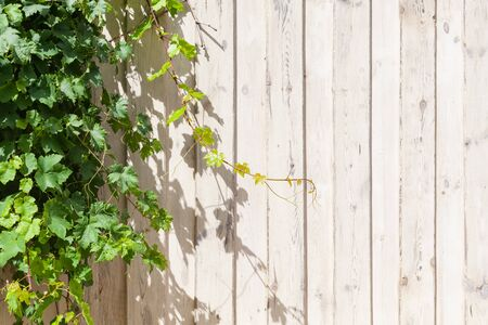 White wooden wall with fresh green grape branches growing over it, background photo texture with copy space area on the right side
