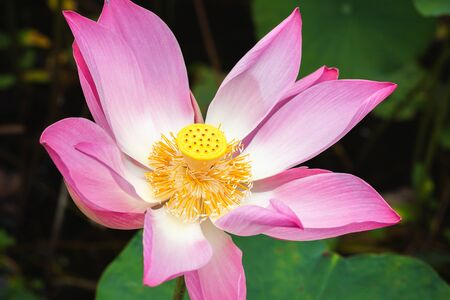 Open pink waterlily flower or lotus. Close-up photo with selective focus taken in Malaysian rainforest