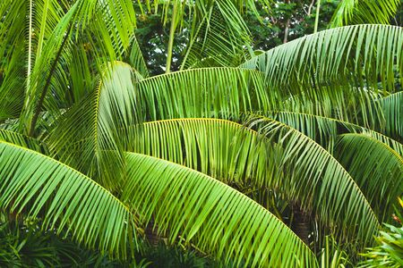 Palm tree leaves, tropical background photo taken in Malaysian rainforest