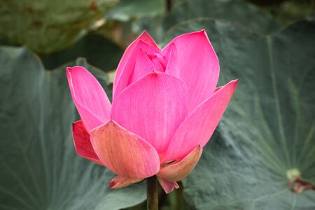 Bright pink waterlily bud. Lotus flower. Close-up photo with selective focus taken in Malaysian rainforest