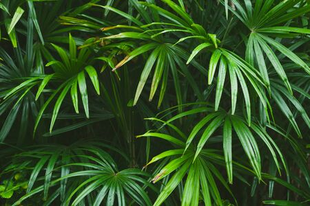 Green tropical leaves, natural background photo taken in Malaysian rainforest Stock fotó