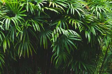 Dark green palm tree leaves, tropical background photo taken in Malaysian rainforest