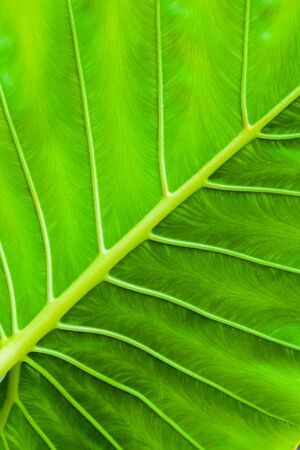 Tropical green leaf background. Macro photo taken in Malaysian rainforest
