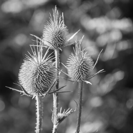 Seedheads of fullers teasel, black and white photo with selective focus. Dry flowers of Dipsacus fullonum, Dipsacus sylvestris, is a species of flowering plant known by the common name wild teasel