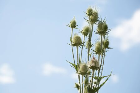 Seedheads of fullers teasel under blue sky. Dry flowers of Dipsacus fullonum, Dipsacus sylvestris, is a species of flowering plant known by the common name wild teasel