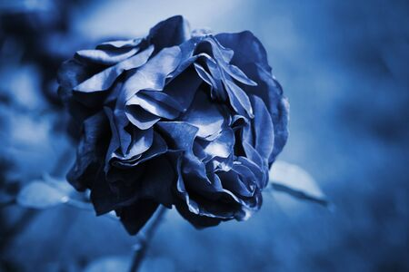 Faded blue rose flower, stylized background photo with soft selective focus Stock fotó