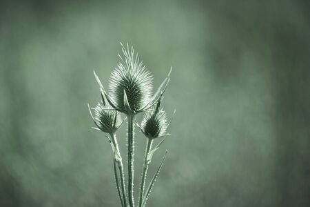 Seedheads of fullers teasel over blurred green background. Dry flowers of Dipsacus fullonum, Dipsacus sylvestris, is a species of flowering plant known by the common name wild teasel 写真素材