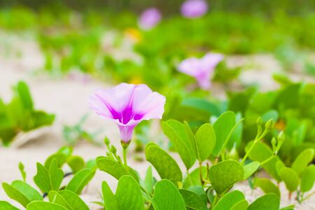 Pink flower of Convolvulus arvensis or field bindweed. It is a species of bindweed that is rhizomatous and is in the morning glory family Convolvulaceae