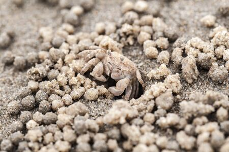 Sand bubbler crab macro photo. These small crabs feed by filtering sand through their mouthparts and leaving behind balls of sand