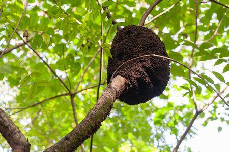 An arboreal termite nest, Dominican Republic nature Фото со стока