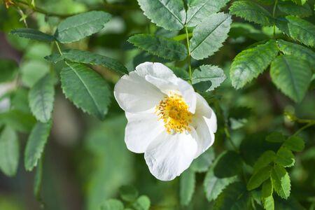 Rosa rubiginosa. White wild rose flower on a green branch in summer garden