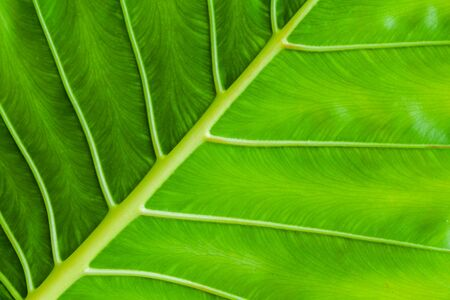 Tropical plant fresh green leaf background. Macro photo with selective focus taken in Malaysian rainforest