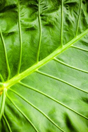 Tropical plant, fresh green leaf background. Close up vertical photo with selective focus taken in Malaysian rainforest