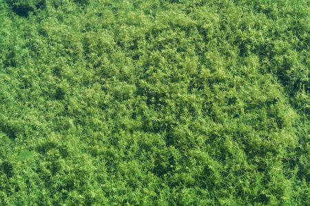 Green algae grows on a bottom of shallow lake. Top view, natural background photo texture