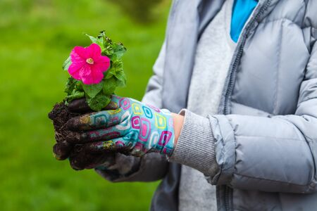Gardener holds petunia seedling with pink flower, close-up photo with selective focus
