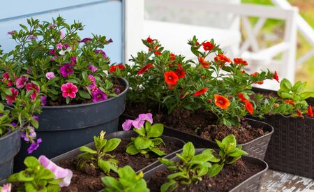 Calibrachoa and petunia seedlings with colorful flowers are in pots. Gardening background photo
