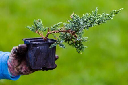 Blue Carpet Juniper seedling in black pot is in a gardener hand