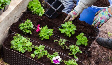 Gardener plants petunia seedlings in decorative outdoor pots