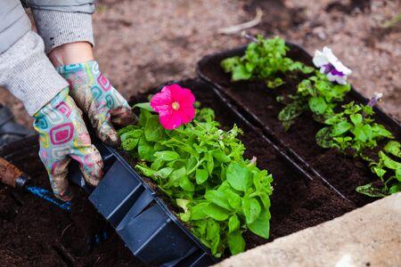 Gardener replants petunia seedlings in decorative pots, close-up photo with selective focus on flower and hands Standard-Bild