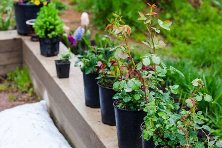 Flower seedlings in black plastic pots stand in a row. Gardening background photo with soft selective focus