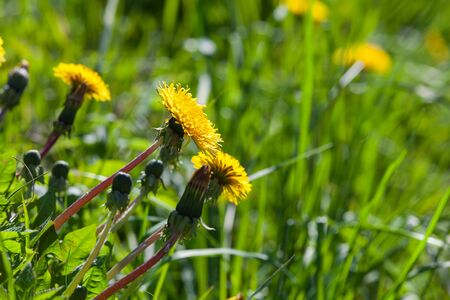 Yellow dandelions in bloom are on a green meadow at sunny day. Close-up photo with selective focus