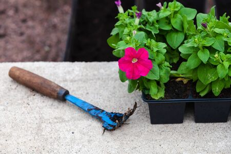 Blue hoe lays near petunia seedlings in decorative pots, close-up photo with selective focus Standard-Bild