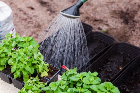 Gardener watering from a watering can petunia seedlings in decorative pots, close-up photo with selective focus