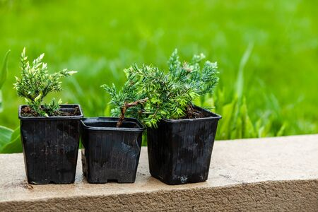 Juniper seedlings are in black plastic pots. Gardening background photo with soft selective focus