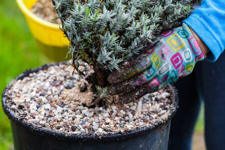 Gardener plants lavender seedlings in a pot, close-up photo with selective focus