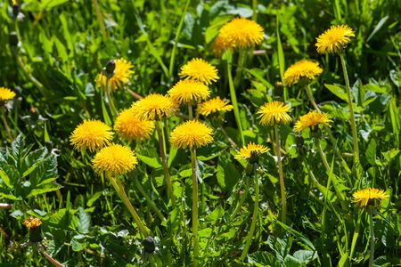 Yellow dandelions in bloom are on a green meadow at sunny day.  Taraxacum officinale close-up photo with selective focus