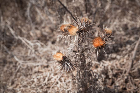 Dry thorny flowers, close-up photo with selective focus