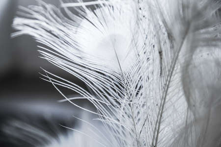 White peacock feather, close-up photo with selective soft focus