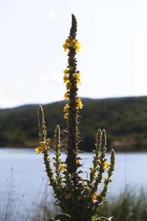 Yellow flowers of Verbascum densiflorum, the denseflower mullein or dense-flowered mullein, it is a plant species in the genus Verbascum