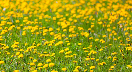 Yellow dandelions in bloom are on a green meadow on a sunny day.  Taraxacum officinale. Natural background photo