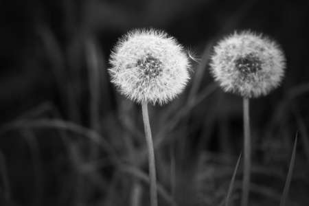 Dandelion flowers with fluffy seed heads, black and white photo 版權商用圖片