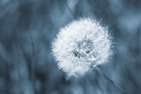 Seed head of a dandelion flower, macro photo with blue tonal filter effect