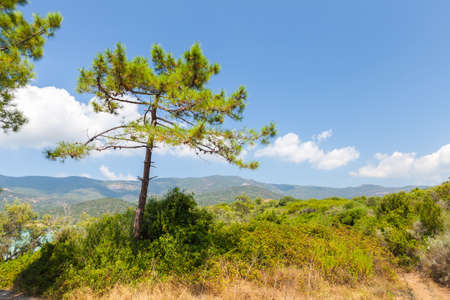 Coastal landscape of Corsica island on a sunny summer day. Pine tree grows on a coast of Cupabia beach