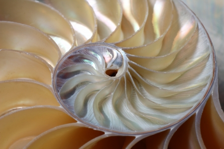 nautilus: A close-up of the spirals of a Chambered Nautilus  Nautilus pompilius