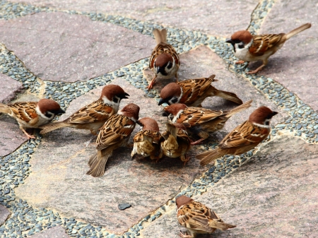 passer    by: Eurasian Tree Sparrows ( Passer montanus ) gathering together
