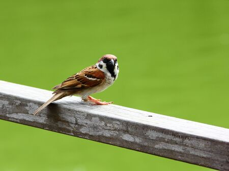 passer by: A lone Eurasian Tree Sparrow   Passer montanus   perched on a railing, looking towards the camera