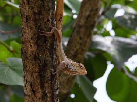 versicolor: An Oriental Garden Lizard(also known as Eastern Garden Lizard or Changeable Lizard) (Calotes versicolor) perched on a branch, looking ot to the open.