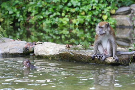 arboreal: Long-tailed macaque (Macaca fascicularis) watching its young take a swim Stock Photo