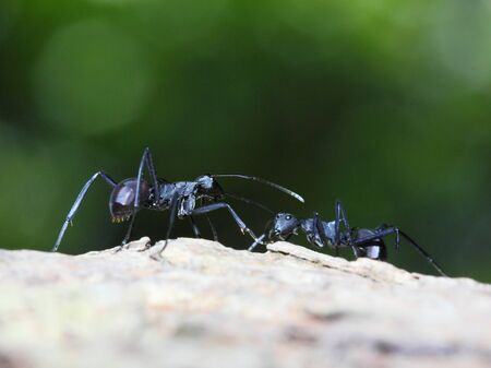 formicidae: Black ants fighting each other