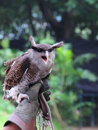 handlers: Forest Eagle Owl (Bubo bubo) on its handlers hand
