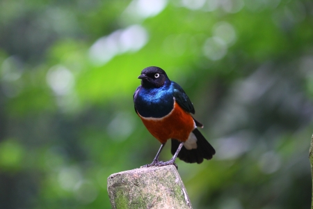 superb: African Superb Starling (Lamprotornis superbus) looking right