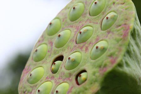 nucifera: Macro de la vaina de la planta del loto, Nelumbo nucifera Foto de archivo