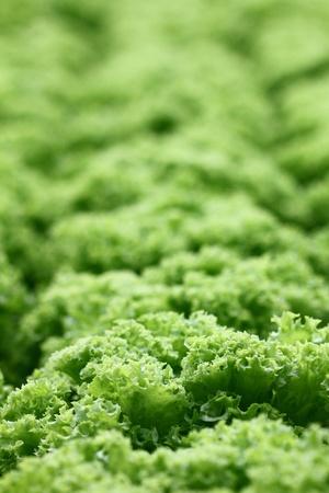 lactuca: Green coral lettuce (Lactuca sativa) placed in rows