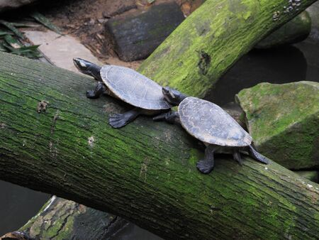 A pair of terrapins going in the same direction. Can be used to signify alignment of goal or unity. Stock Photo